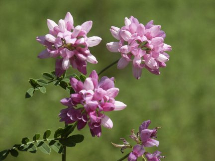 crownvetch1.jpg
