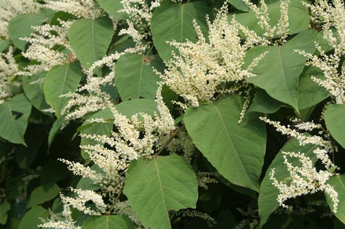 japaneseknotweed.jpg
